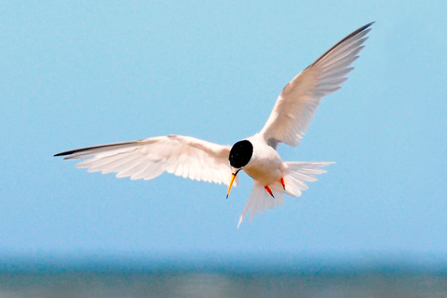 Doing a good turn for terns