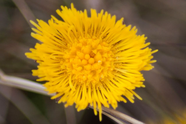 Nature Notes. Coltsfoot  - an early spring flower