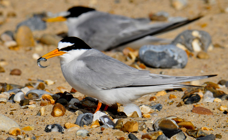 /files/Pages/Little_Tern_Kevin_Simmonds_800.jpg