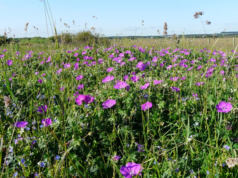 /files/Pages/Wildfowers_Bloody_Cranesbill_Iain_Robson_800_600.jpg